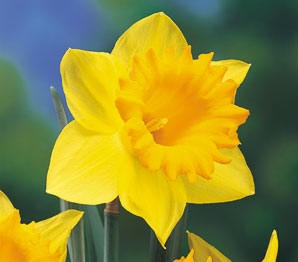 dutch-master-daffodil